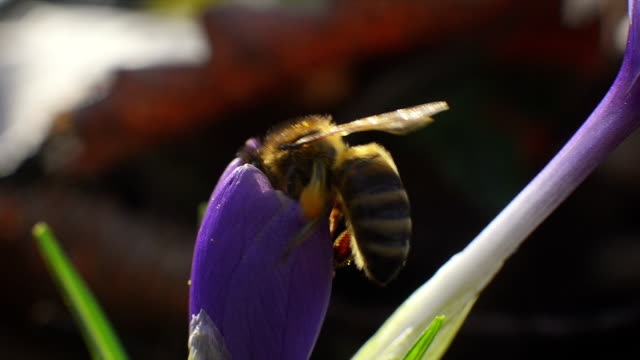 Bee collects pollen and nectar from purple flower video