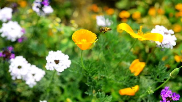 HD: ハチは、花の花粉を収集します。 ビデオ