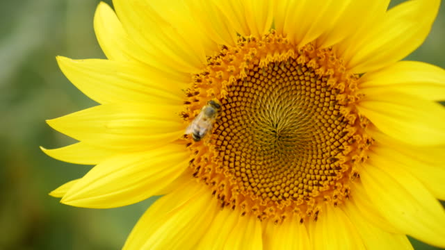 bee collects pollen on sunflower - stame video stock e b–roll
