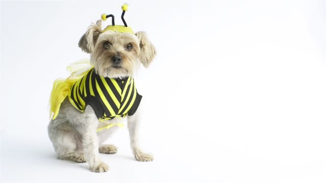 bee costume yorkie - костюм стоковые видео и кадры b-roll