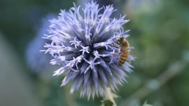 Bee crawls up thistle flower- macro video