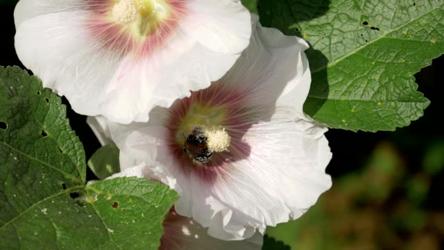 bee drone collects pollen on a flower. - ape operaia video stock e b–roll