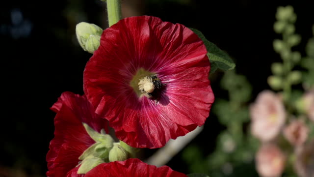 bee drone collects pollen on red flower. - ape operaia video stock e b–roll
