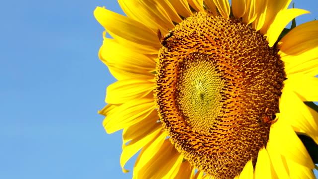 bee eating carpel pistil on sunflower