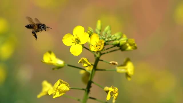 bee njuter på gula raps blommor - bi insekt bildbanksvideor och videomaterial från bakom kulisserna
