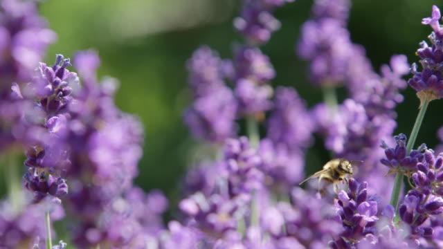 DOF, Makro, CLOSE UP Biene fliegt Lavendel blühen nach der Ernte es für pollen – Video
