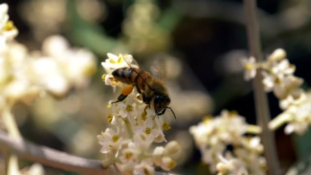 Bee Flower Dof Slow Motion - video
