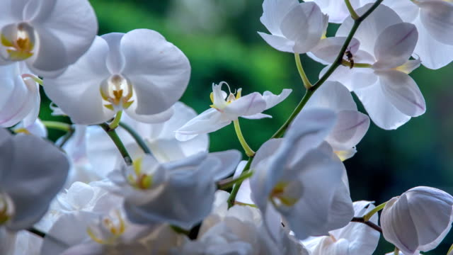 Bee flying around beautiful white orchid`s blossoms