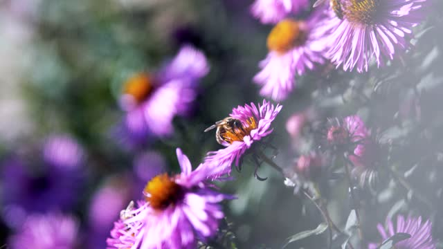 Bee flying around flower blossom and collecting pollen. DoF, macro, close-up Hardworking bee flying around garden flower collecting pollen on sunny summer day arthropod stock videos & royalty-free footage