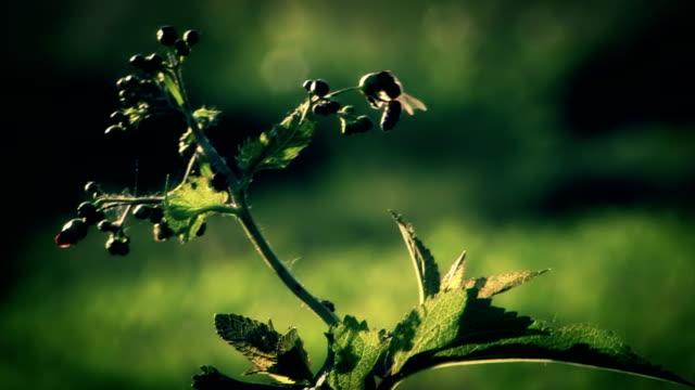 HD - Bee flying around flower video