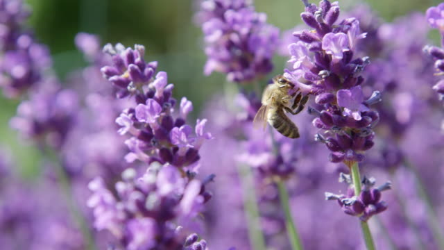 DOF, MACRO, CLOSE UP: Bee flying around lavender blossom and collecting pollen