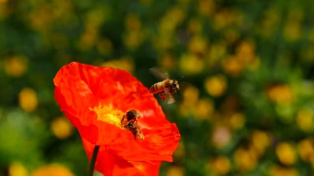 bee flying into on flower and feeding - djurkroppsdel bildbanksvideor och videomaterial från bakom kulisserna