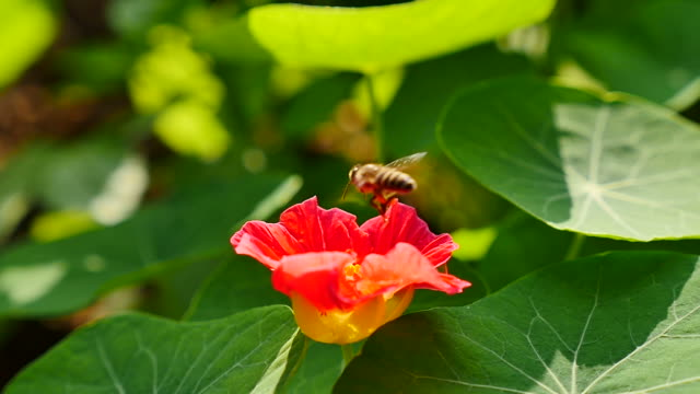 Bee flying into on flower and feeding video