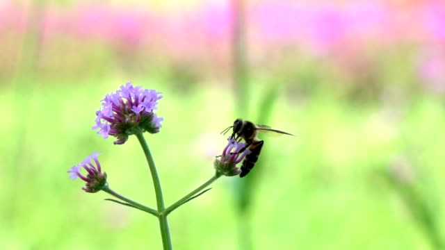 bee flying on flowers slow motion - coreopsis lanceolata video stock e b–roll
