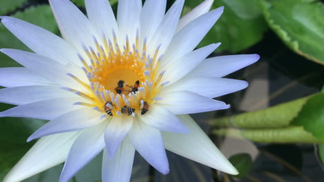 Bee flying on the lotus flowers