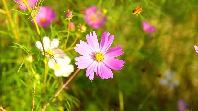 Biene auf der Blume lila Kosmos fliegen. – Video