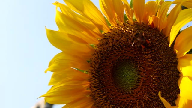 bee flying with yellow sunflower video