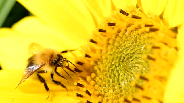 bee foraging on a sunflower during a beautiful late summer afternoon. macro slow motion close up clip - sunflower filmów i materiałów b-roll