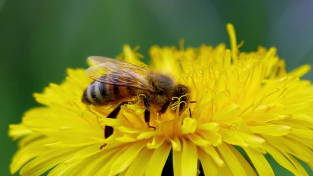 Bee gathers pollen on a dandelion