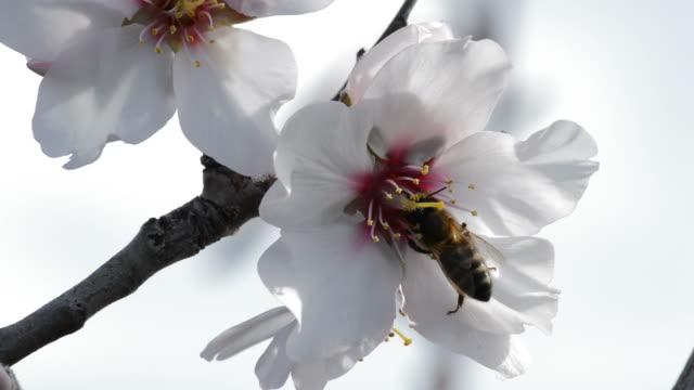 vídeos de stock e filmes b-roll de bee in almond blossoms. - amendoas