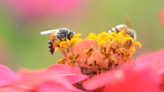 Biene im cosmos flower – Video