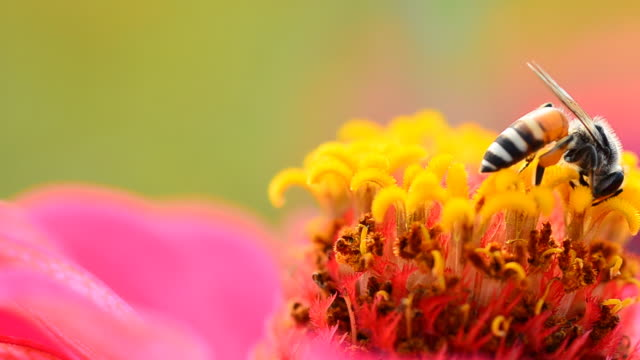 Bee in cosmos flower  pollen stock videos & royalty-free footage