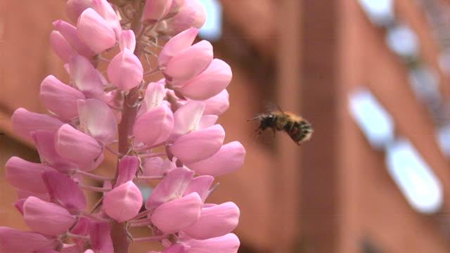 Bee in Flight Slow Motion video