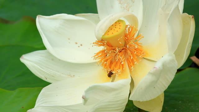 Bee in lotus video