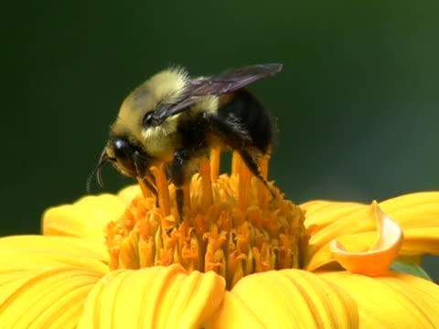 bee in yellow flower closeup - klip uzunluğu stok videoları ve detay görüntü çekimi