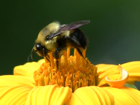 bee in yellow flower closeup - 描述 個影片檔及 b 捲影像