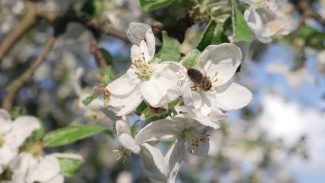 bi insekt pollinater äppelträd blommar - äppelblom bildbanksvideor och videomaterial från bakom kulisserna