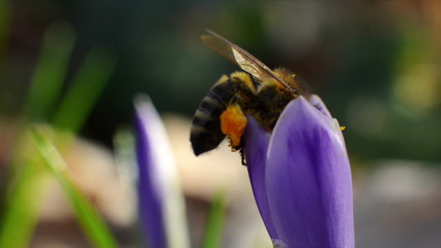 Bee inside a violet flower collecting pollen and nectar video