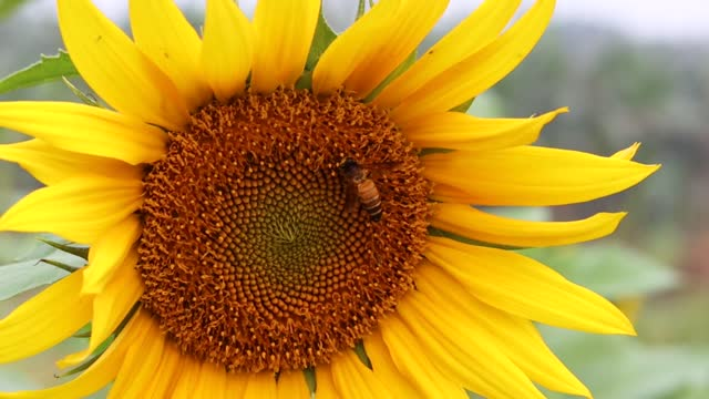 Bee is collecting honey from sunflower disk florets close up footage