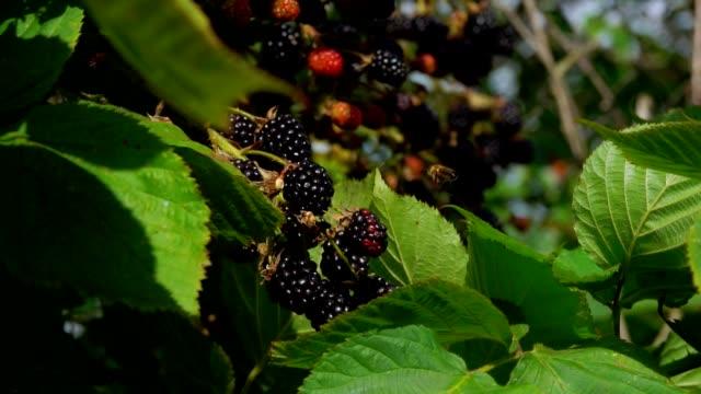 Bee is flying over ripe blackberries in the garden