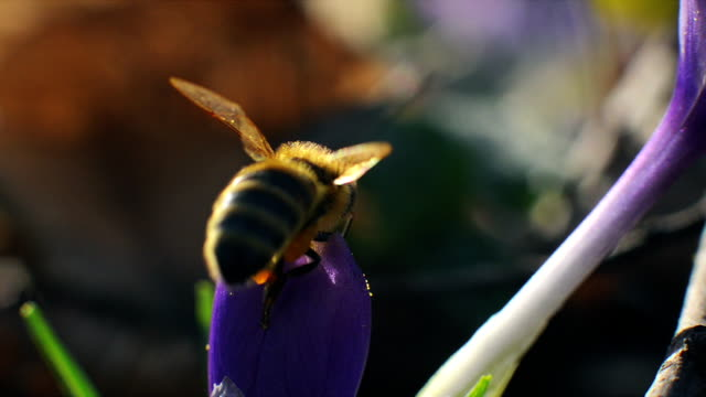 Bee landing on a purple flower and pollinate by collecting pollen and nectar video