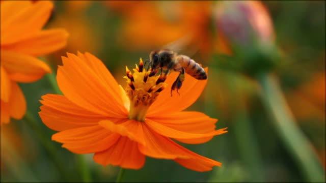 Biene auf Blume Zeitlupe Landung. – Video