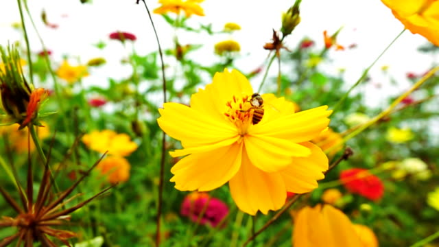 bee landing on flower slow motion. - coreopsis lanceolata video stock e b–roll