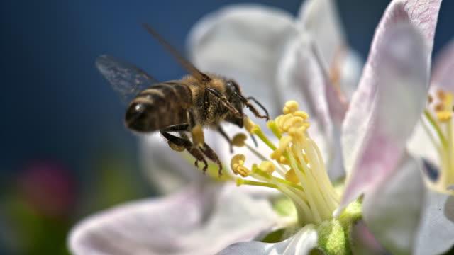 atterraggio ape slo mo su fiore - ape operaia video stock e b–roll