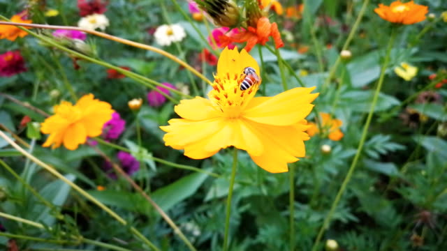 bee landing on flower - coreopsis lanceolata video stock e b–roll