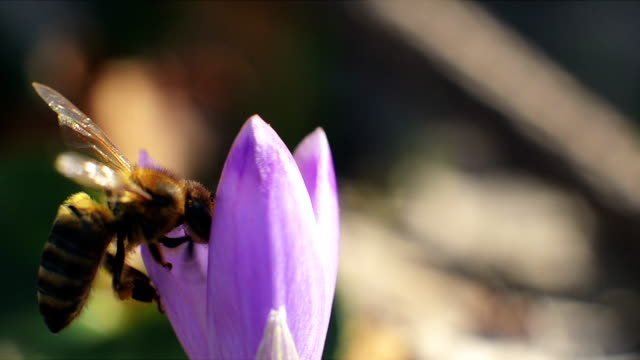 Bee lands and enters the rosary purple flower video
