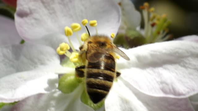 bee landar på blomman frukt - pollinering bildbanksvideor och videomaterial från bakom kulisserna