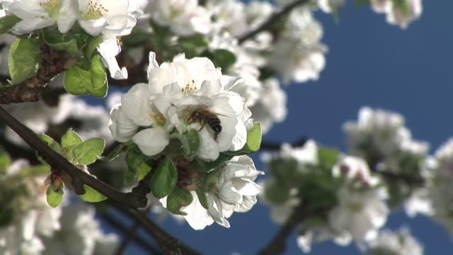 hd: bee on a blossom - äppelblom bildbanksvideor och videomaterial från bakom kulisserna