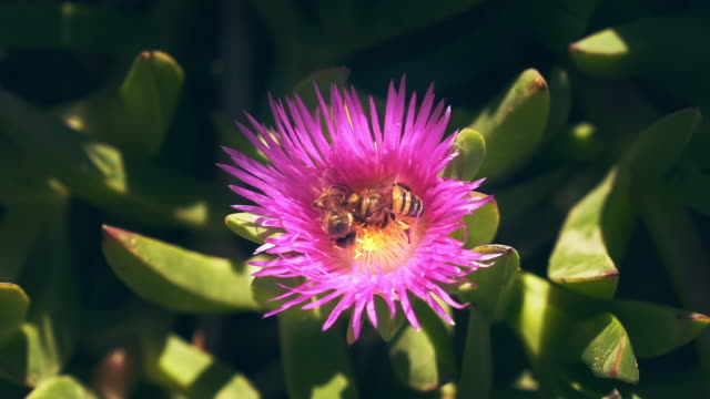 Bee on a catus flower