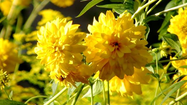 Bee on a cutleaf flower (HD)