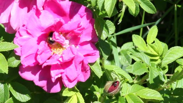 ape su un fiore rosa selvatica - stame video stock e b–roll