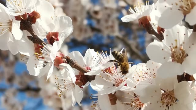 ett bi på en blommande gren av en aprikos närbild - äppelblom bildbanksvideor och videomaterial från bakom kulisserna