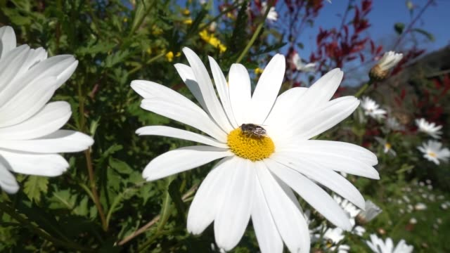 a bee on a marguerite flower that is swayed by the wind - ape regina video stock e b–roll