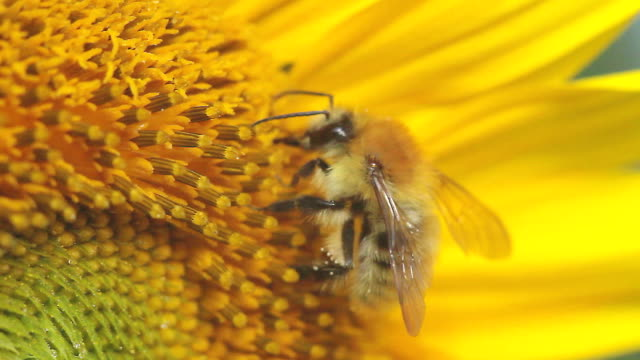 Bee on a sunflower Bee on a sunflower filmed in macro pollen stock videos & royalty-free footage