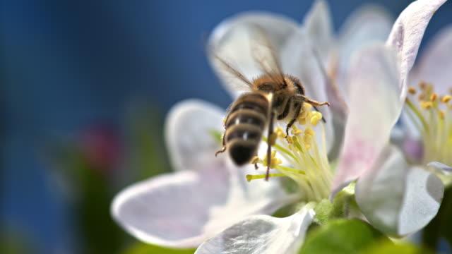 ape slo mo su un fiore bianco - ape operaia video stock e b–roll