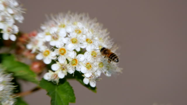Bee on a white inflorescence in spring collects pollen. Crataegus monogyna in spring. White inflorescences sway in the wind.